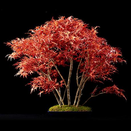 盆栽 紅葉